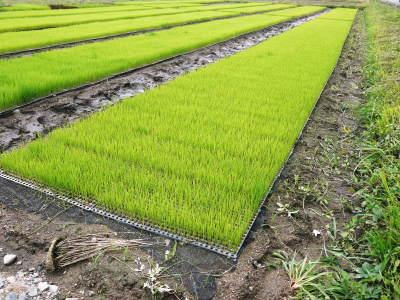 無農薬栽培のひのひかり100%使用の『米粉』大好評販売中!平成30年度の米作り!苗床の様子を現地取材!_a0254656_17362419.jpg