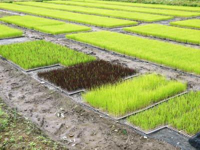 無農薬栽培のひのひかり100%使用の『米粉』大好評販売中!平成30年度の米作り!苗床の様子を現地取材!_a0254656_17424722.jpg