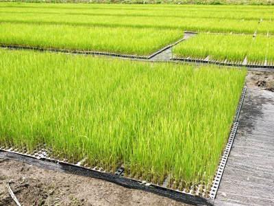 無農薬栽培のひのひかり100%使用の『米粉』大好評販売中!平成30年度の米作り!苗床の様子を現地取材!_a0254656_18080669.jpg