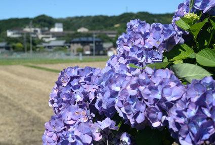 アジサイがきれいな榊原温泉_b0145257_16183666.jpg