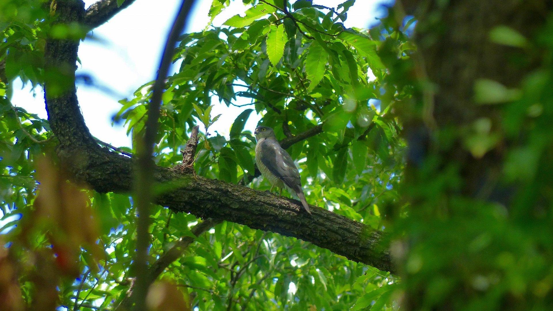雀鷹の森では_a0185081_00304689.jpg
