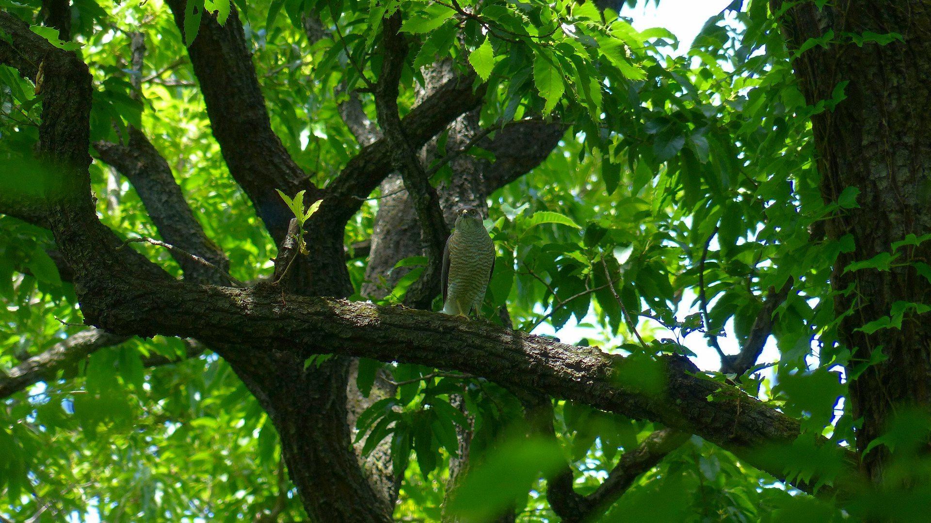雀鷹の森では_a0185081_00310120.jpg