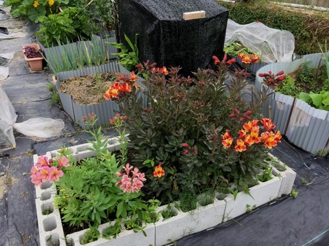 北摂の6月の家庭菜園・・その3_f0229190_13564124.jpg