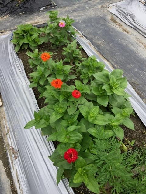 北摂の6月の家庭菜園・・その3_f0229190_13573976.jpg