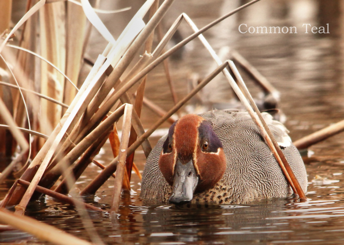 コガモ:Green-winged Teal _b0249597_18515421.jpg