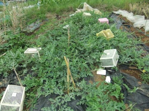 甘い野菜(スイカ、トマト)の成長_b0137932_06263974.jpg