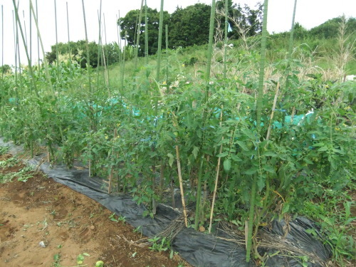 甘い野菜(スイカ、トマト)の成長_b0137932_06272919.jpg