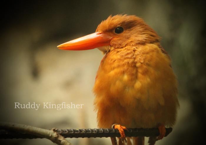 アカショウビン:Ruddy Kingfisher _b0249597_16052250.jpg