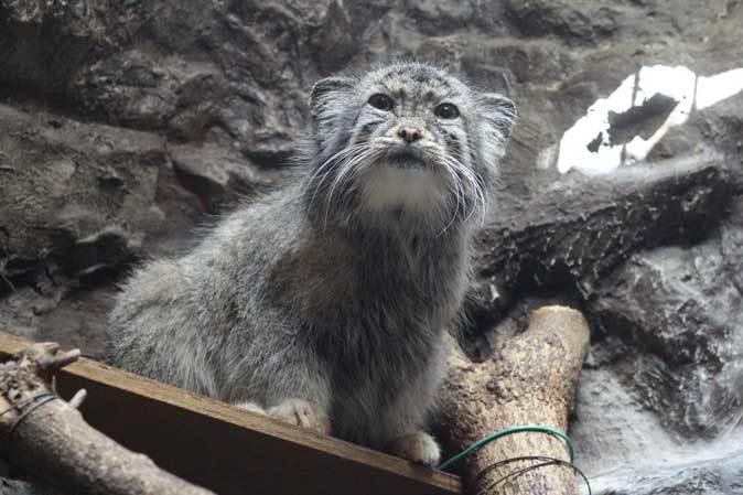 3月の上野動物園~マヌル・ブームとソルジャー・ハシビロコウ_b0355317_22043270.jpg