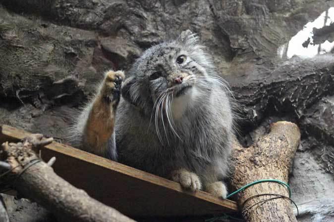 3月の上野動物園~マヌル・ブームとソルジャー・ハシビロコウ_b0355317_22052540.jpg