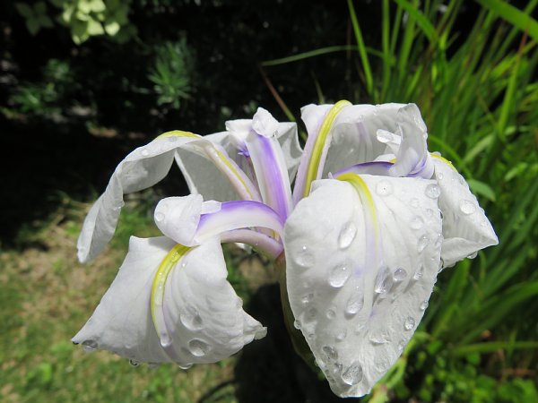 2018年6月21日 花菖蒲の花が咲く  (^-^)_b0341140_1747960.jpg