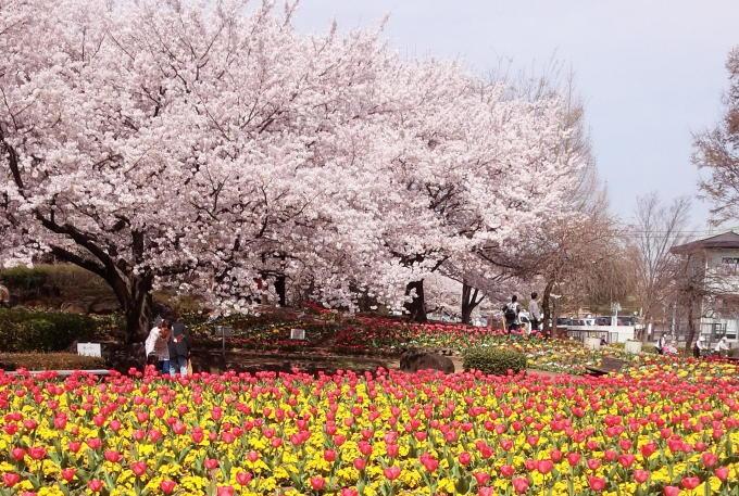 桜の季節に、ありがとうございます。_c0054646_19225211.jpg