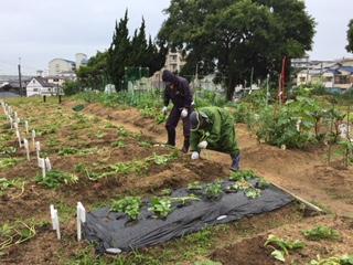サツマイモの苗 150本補植しました!_f0079749_12284912.jpg