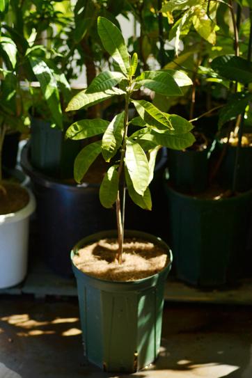 ルクマ (Pouteria lucuma)