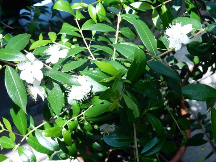 ミルテの花 「銀梅花」(マートル)_b0221219_14372694.jpg