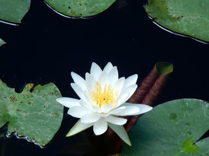 ミルテの花 「銀梅花」(マートル)_b0221219_16370430.jpg