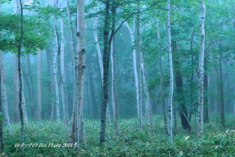 霧の白樺 _d0027893_11061845.jpg