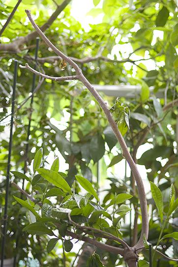 ルクマの木 (Pouteria lucuma)