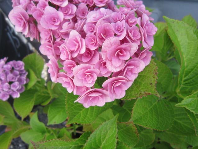 あじさいの季節ですね☂ お洒落なお庭作りはガーデンフローにお任せ下さい_e0361918_16480629.jpg