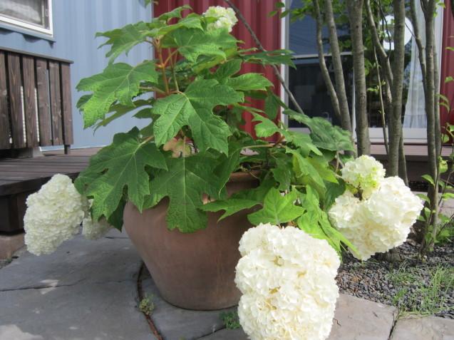 あじさいの季節ですね☂ お洒落なお庭作りはガーデンフローにお任せ下さい_e0361918_16484234.jpg
