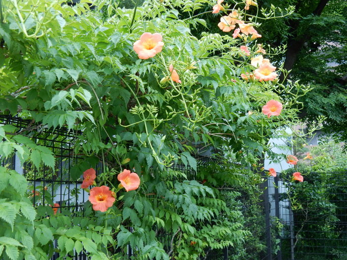 中村さん家の「ノウゼンカズラの花」_b0221219_16213200.jpg