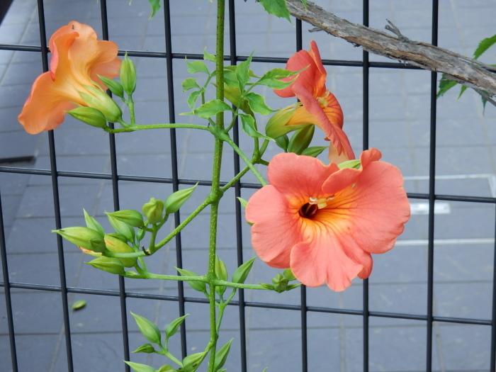 中村さん家の「ノウゼンカズラの花」_b0221219_16220956.jpg