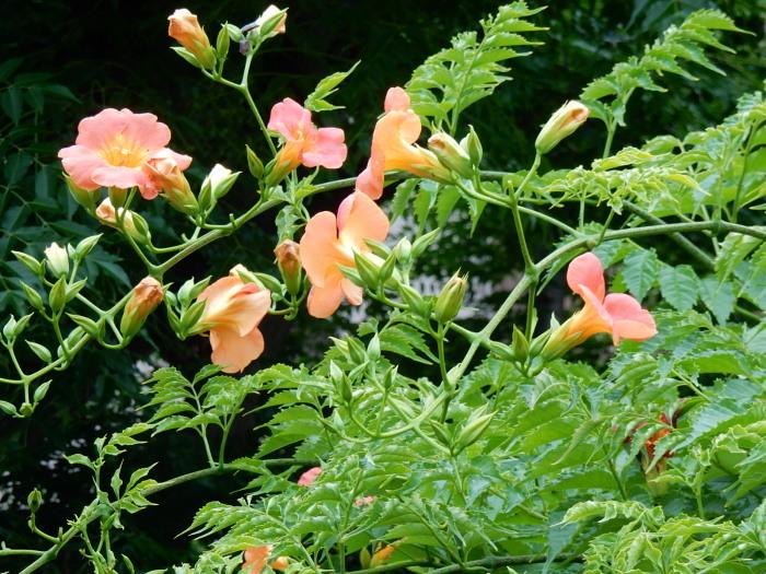 中村さん家の「ノウゼンカズラの花」_b0221219_16222854.jpg