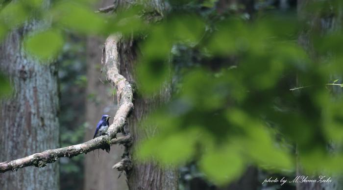 暗い森の中で出逢ったオオルリ_c0217255_19134757.jpg