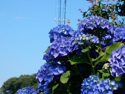 青いアジサイがきれいです_e0175370_11555116.jpg