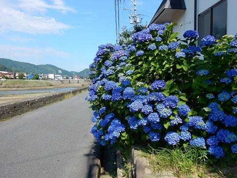 青いアジサイがきれいです_e0175370_11561213.jpg
