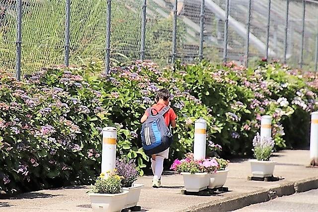 藤田八束の鉄道写真@梅雨に咲く美しい花アジサイに魅せられて・・・貨物列車ワニと沿線に咲く紫陽花_d0181492_15052223.jpg