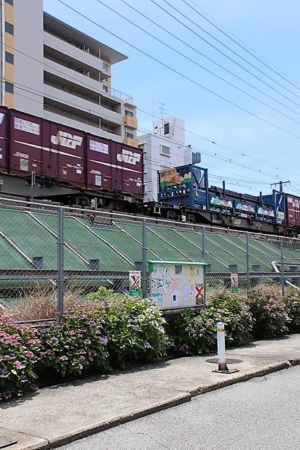 藤田八束の鉄道写真@梅雨に咲く美しい花アジサイに魅せられて・・・貨物列車ワニと沿線に咲く紫陽花_d0181492_15111825.jpg