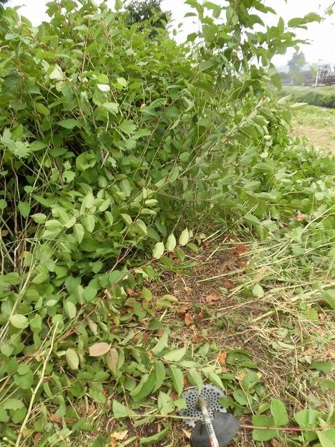 今年最初の滝川の土手普請 草が「みるい」ので、サクサク刈れます!_f0141310_08123027.jpg