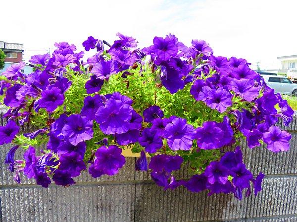 2018年6月22日 満開のサフィニアの花  (^-^)_b0341140_6284176.jpg