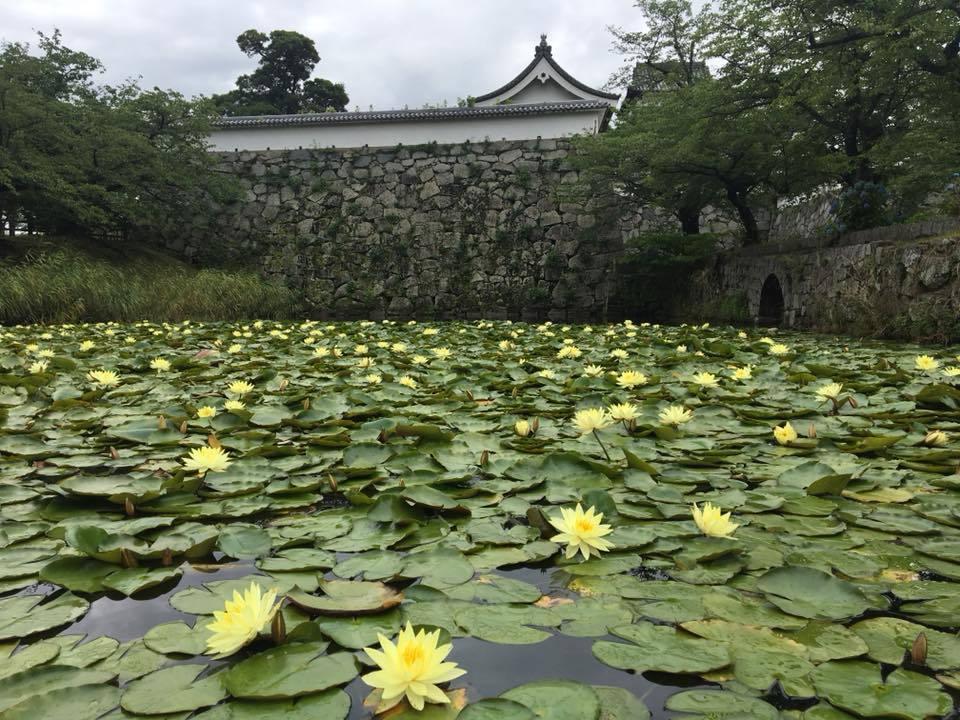 すいれん…綺麗に咲いています(^_^*)in舞鶴公園_d0082356_10232593.jpg