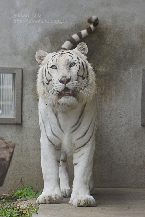 2018.6.17 宇都宮動物園☆ホワイトタイガーのアース王子【White tiger】 - 青空に浮かぶ月を眺めながら