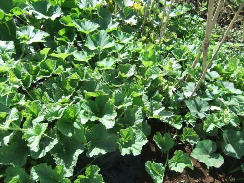 甘い野菜(スイカ、トマト)の成長_b0137932_18550773.jpg