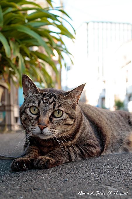 猫のいる風景 近所のレイコちゃん_b0133053_00584175.jpg