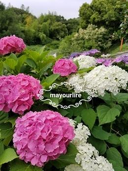 紫陽花が咲きました_d0169179_23522095.jpg