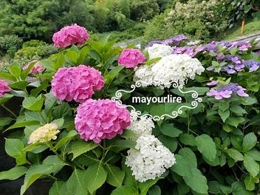 紫陽花が咲きました_d0169179_23540971.jpg