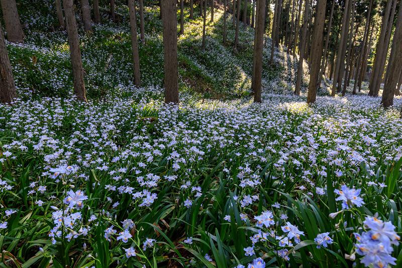 シャガ咲く妖精の森(綾部市)_f0155048_23254019.jpg