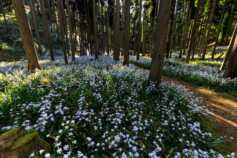 シャガ咲く妖精の森(綾部市)_f0155048_2326684.jpg