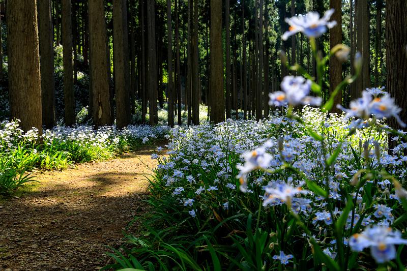 シャガ咲く妖精の森(綾部市)_f0155048_2330463.jpg