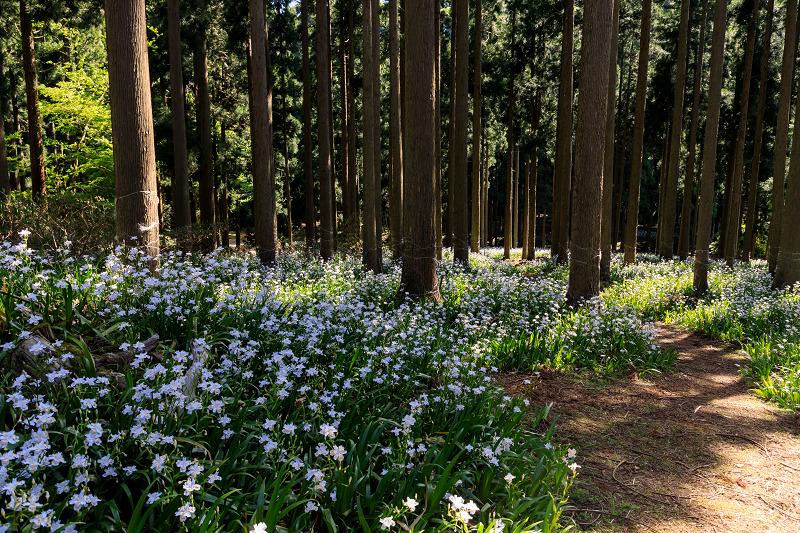 シャガ咲く妖精の森(綾部市)_f0155048_23323975.jpg