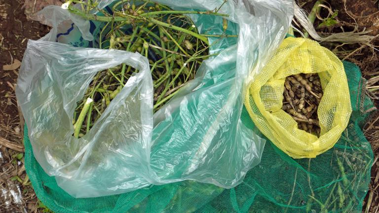 鎌倉ダイコンの種採取、今年は辛味ソバに使いたい6・19_c0014967_2247325.jpg
