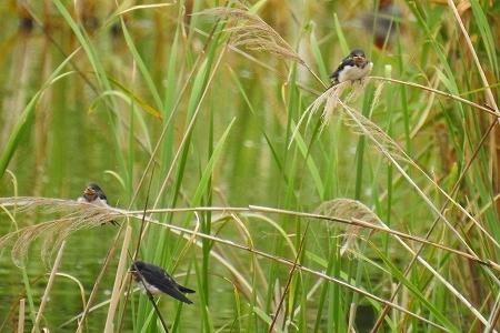 ★幼鳥が目立ち始めました・・・先週末の鳥類園(2018.6.16~17)_e0046474_18221824.jpg