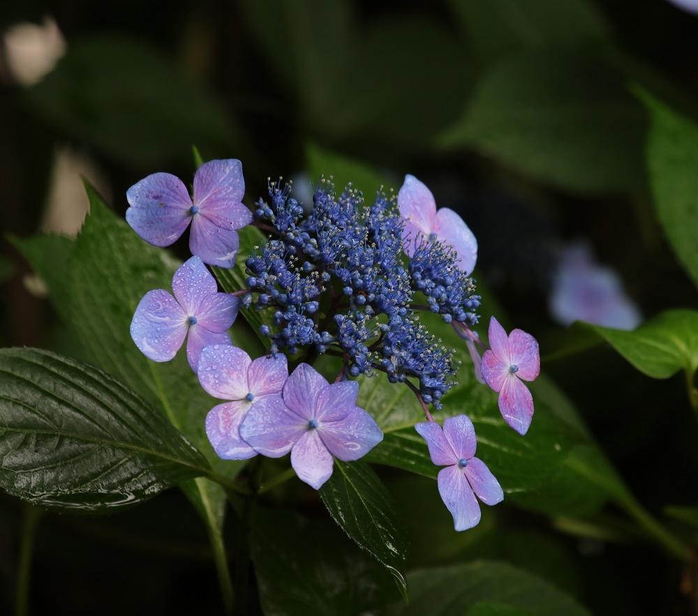 梅雨に似合う花、、アジサイ、_f0305401_16293394.jpg