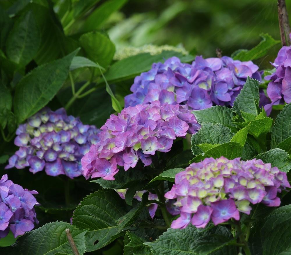 梅雨に似合う花、、アジサイ、_f0305401_16293897.jpg