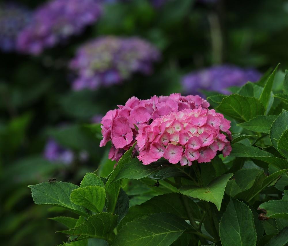 梅雨に似合う花、、アジサイ、_f0305401_16294364.jpg
