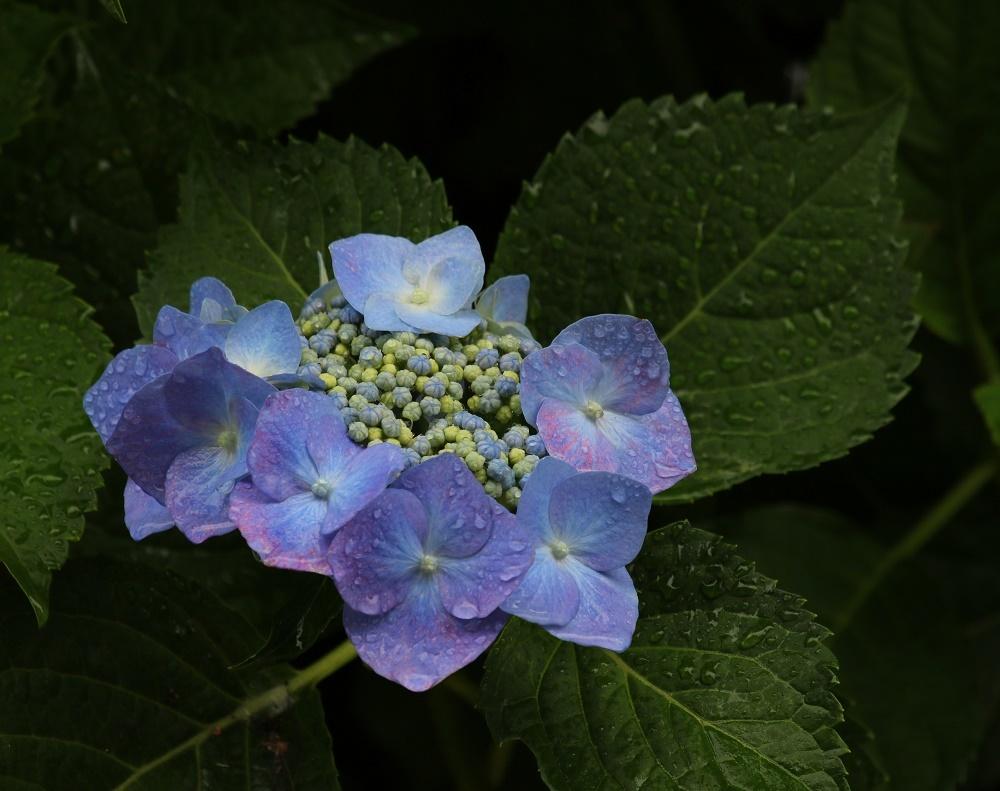 梅雨に似合う花、、アジサイ、_f0305401_16294802.jpg